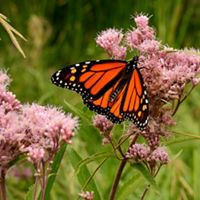 orange-and-black butterfly on pink flowers