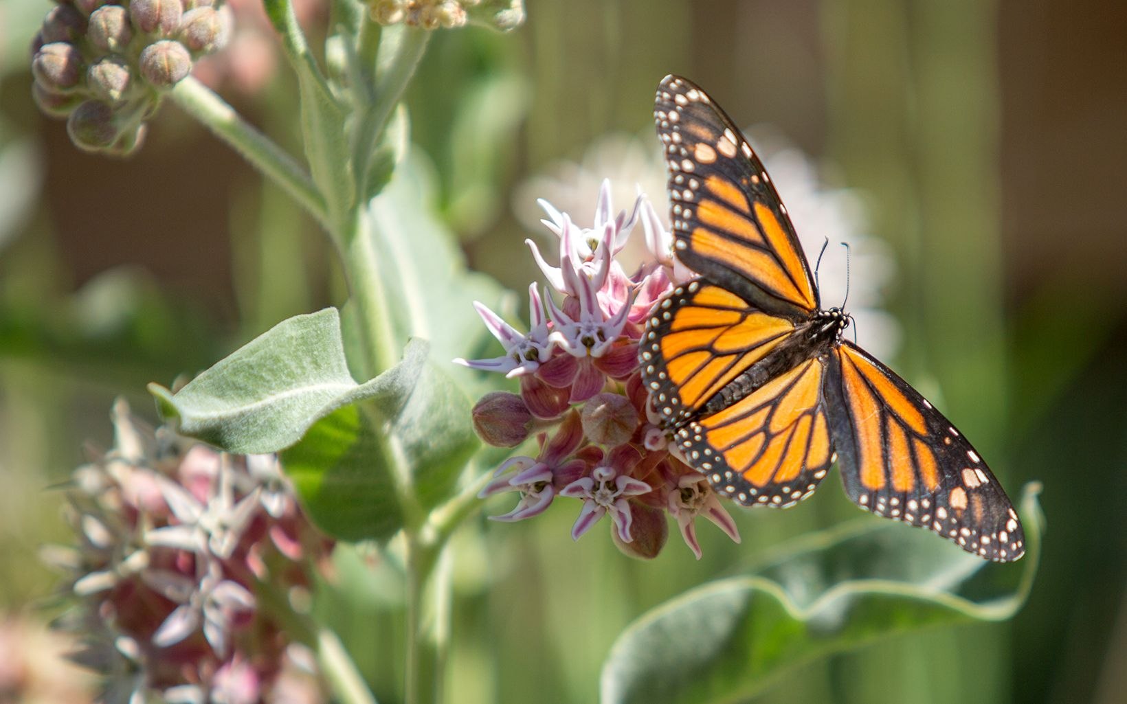 Monarch butterfly at River Fork Ranch Preserve in the Carson Valley, NV.