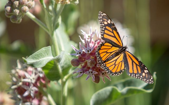 Monarch butterfly River Fork Ranch