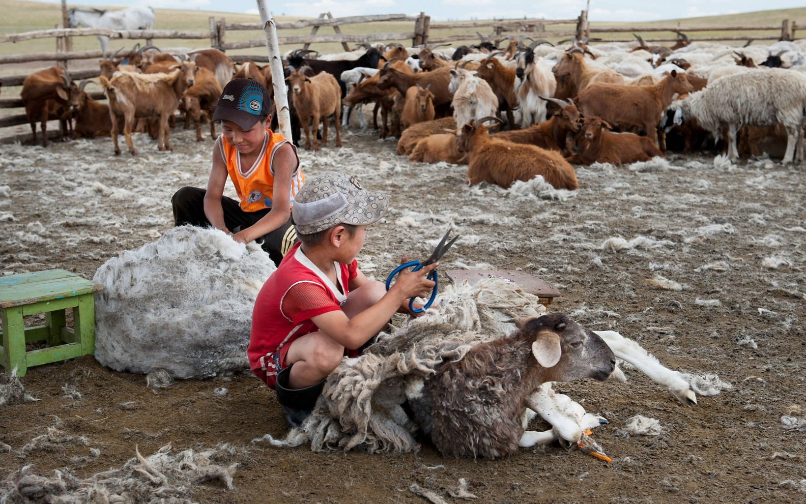 Two boys are clipping wool from sheep at their family farm in Mongolia.