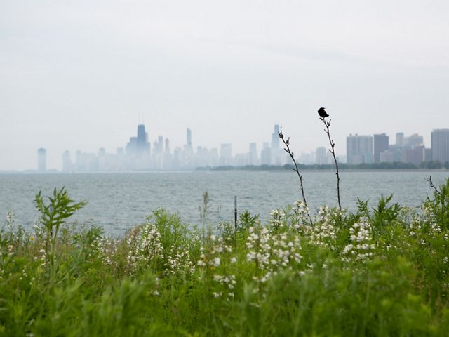 A red-winged black bird perches on grass with the Chicago skyline across lake Michigan in the background