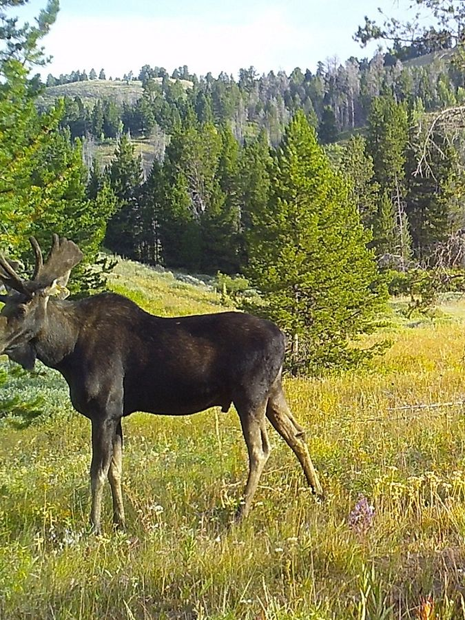 A moose moving through a tree lined meadow.