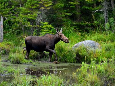 A moose walking through a forest.