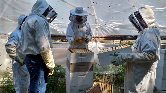 Four people dressed in beekeeping garb tend to a beehive as bees buzz around them.