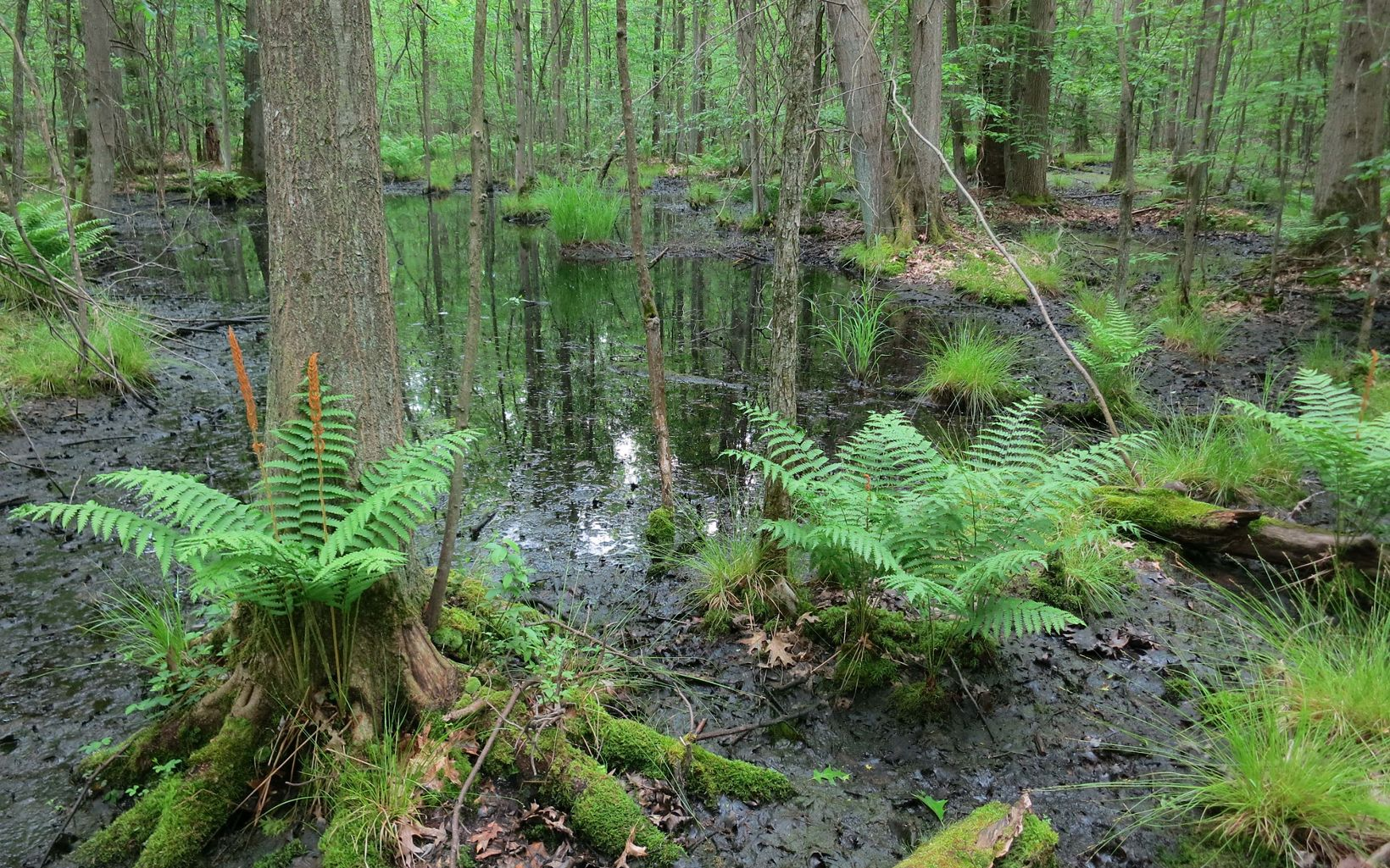 Extensive vernal pools at the preserve are the breeding sites for many amphibians like spotted salamanders and wood frogs.