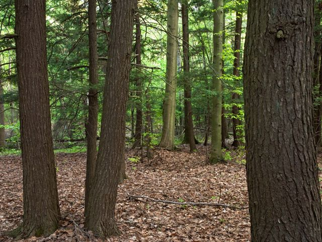 Looking through a stand of hemlock trees with delicate, green, fern-like foliage and dark brown tree trunks.