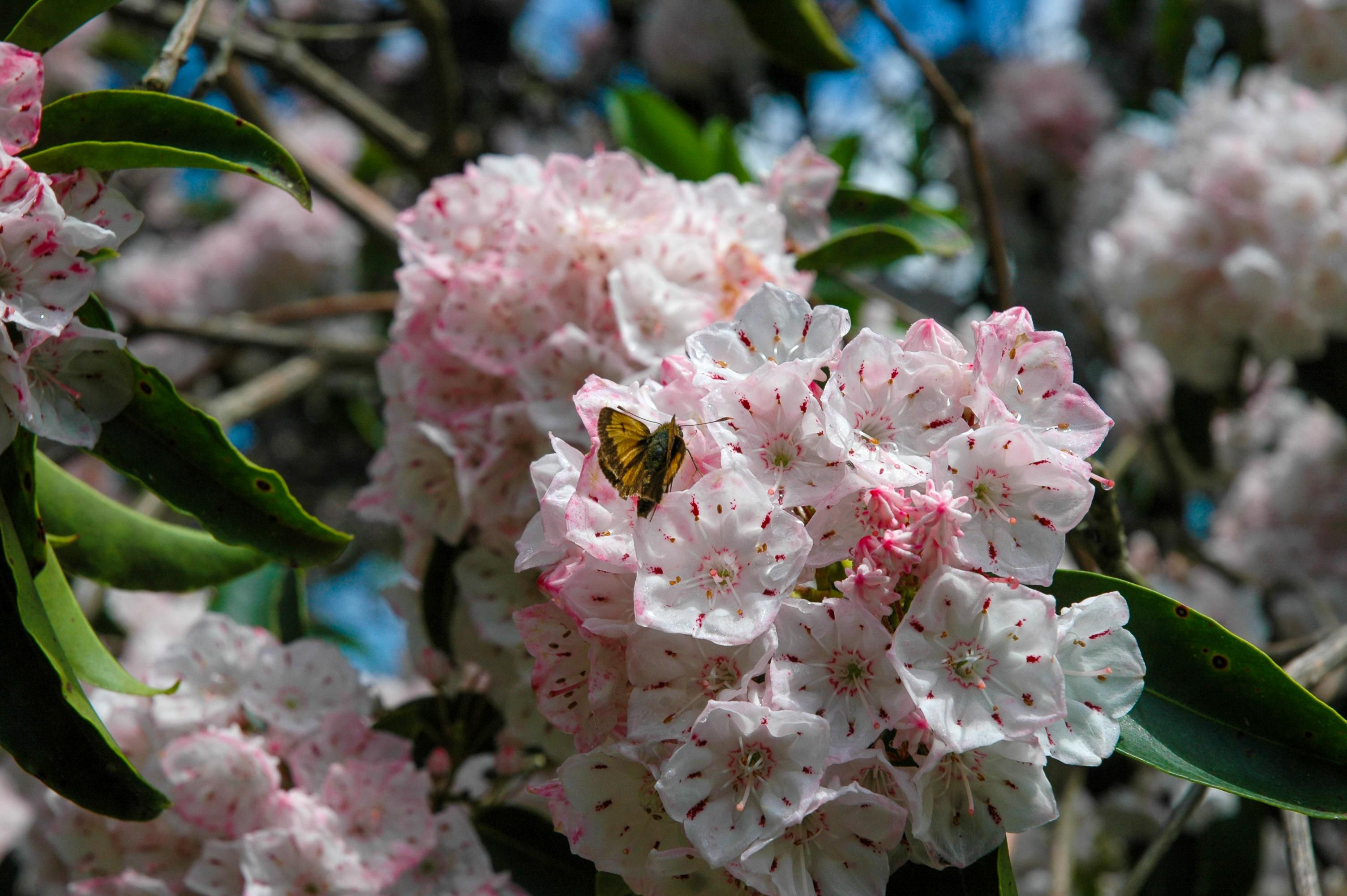 A small skipper buttferfly is pollinating a mountain laurel flower.