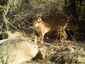 Researchers in Southern California set up camera traps to monitor and track the movement of mountain lions.