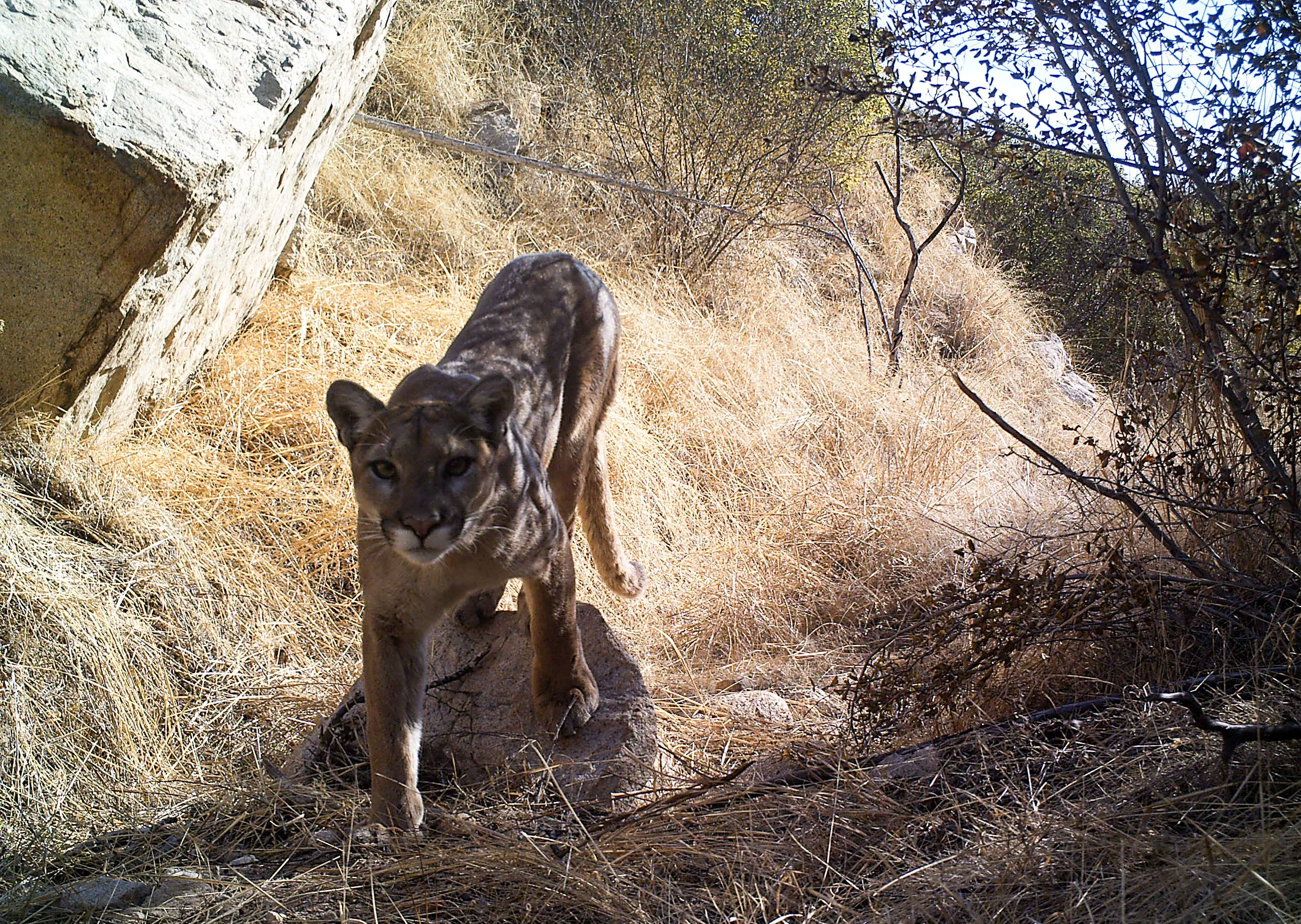 a mountain lion walking through rocks and grass