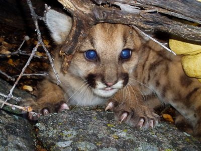 Mountain Lion Cub in Den