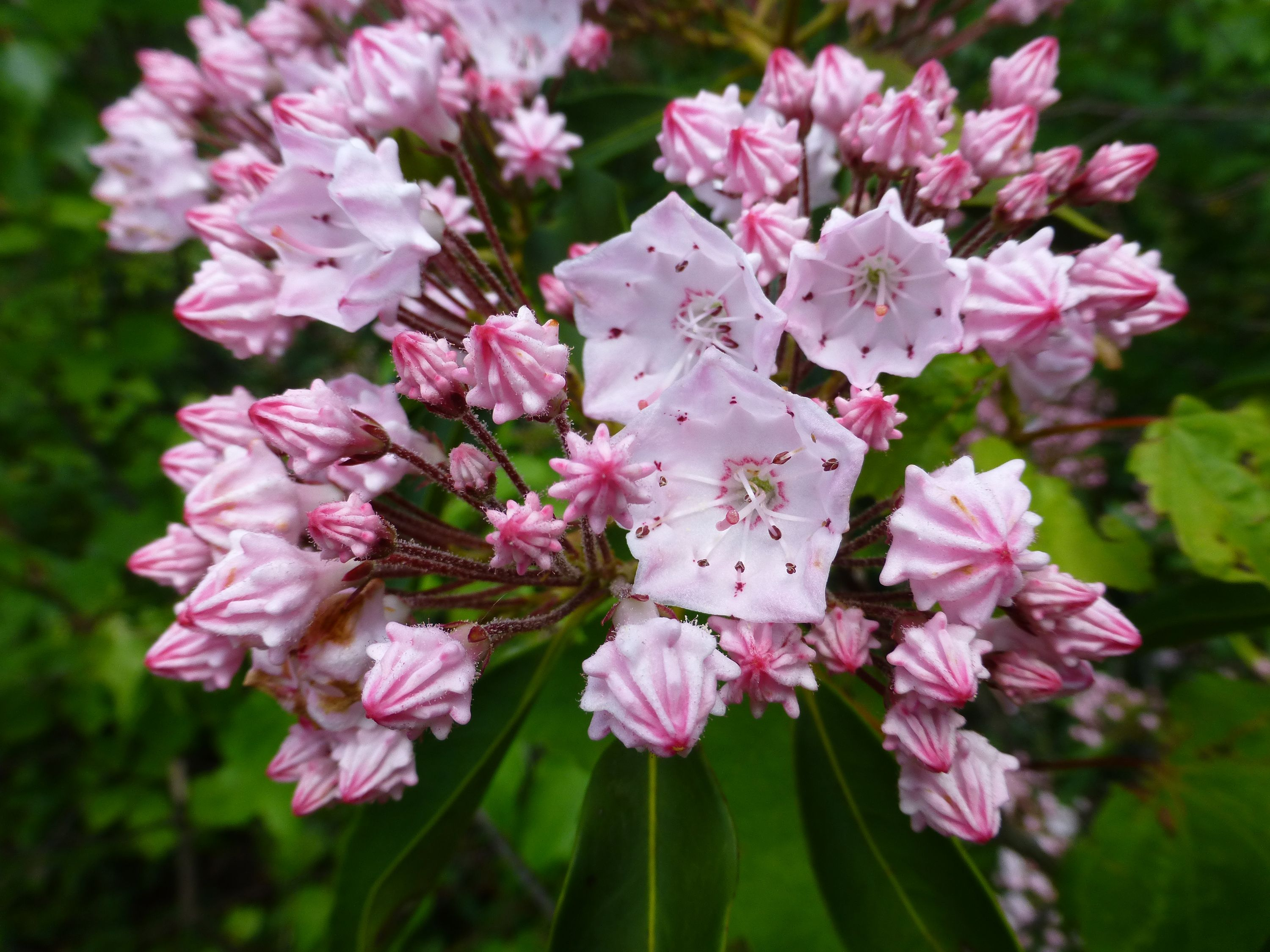 White cup shaped flowers with pink edges bloom on a green leafed bush.