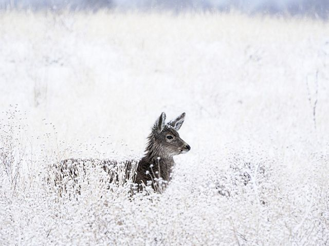 A mule deer surveys the landscape, body dusted with snow. Countless adaptations, shaped through evolution, allow this animal to withstand the brutal cold of a Colorado winter.