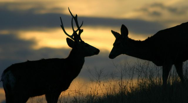 A buck and a doe silhouetted against the sky.