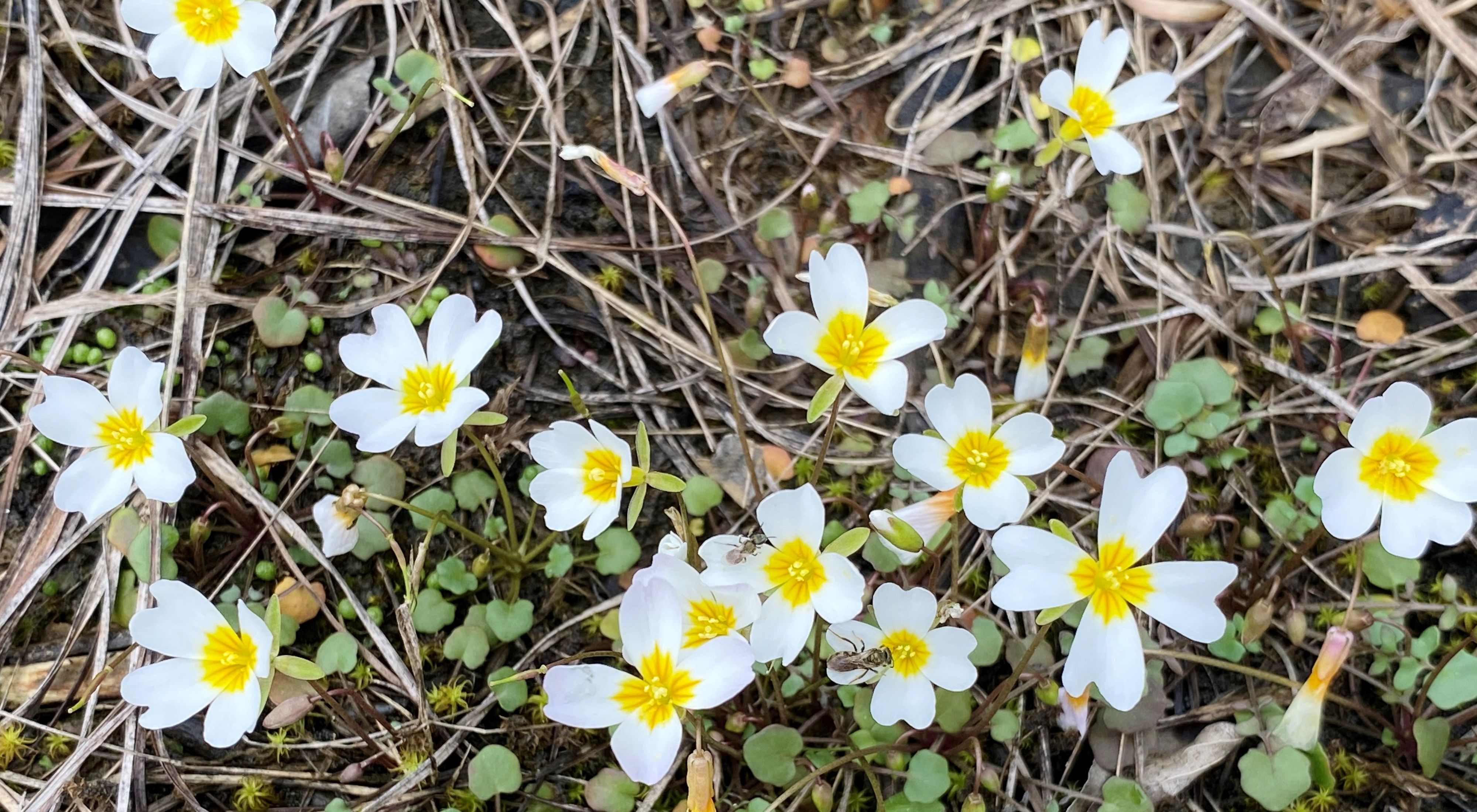 Small white flowers emerge from dry grass and moss in springtime.