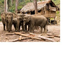 is home to 2,000 wild Asian elephants and 5,000 domesticated timber elephants that are symbols of national pride and the world's best example of reduced-impact logging.