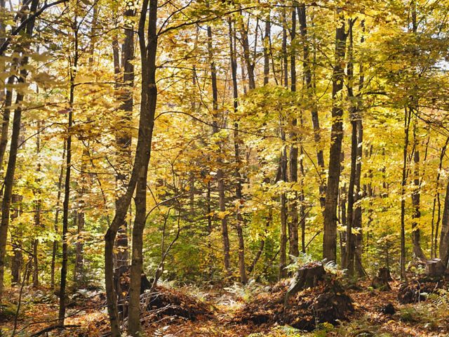 A hardwood forest stand in Michigan's Two Hearted River Forest Reserve.