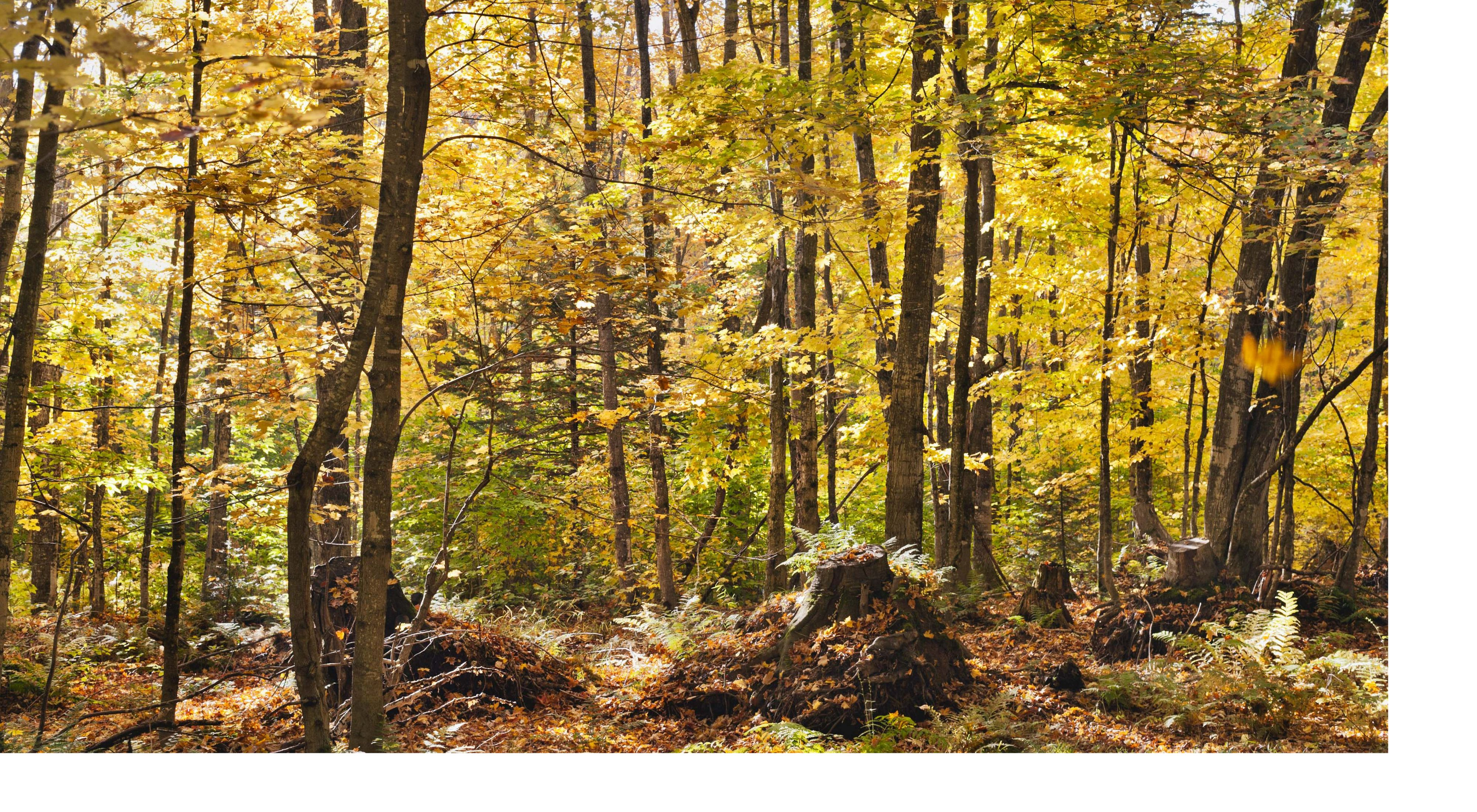 Photo of a Michigan hardwood forest in autumn colors.