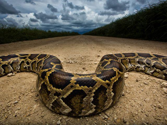 invasive burmese python snake weaving across a dirt road near everglades in florida