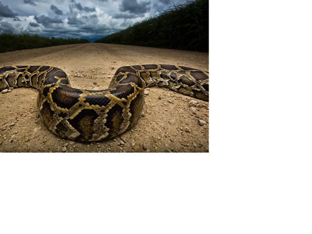 invasive burmese python snake weaving across a dirt road near everglades in florida
