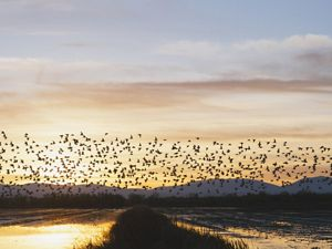 Migratory birds on the Pacific Flyway in California