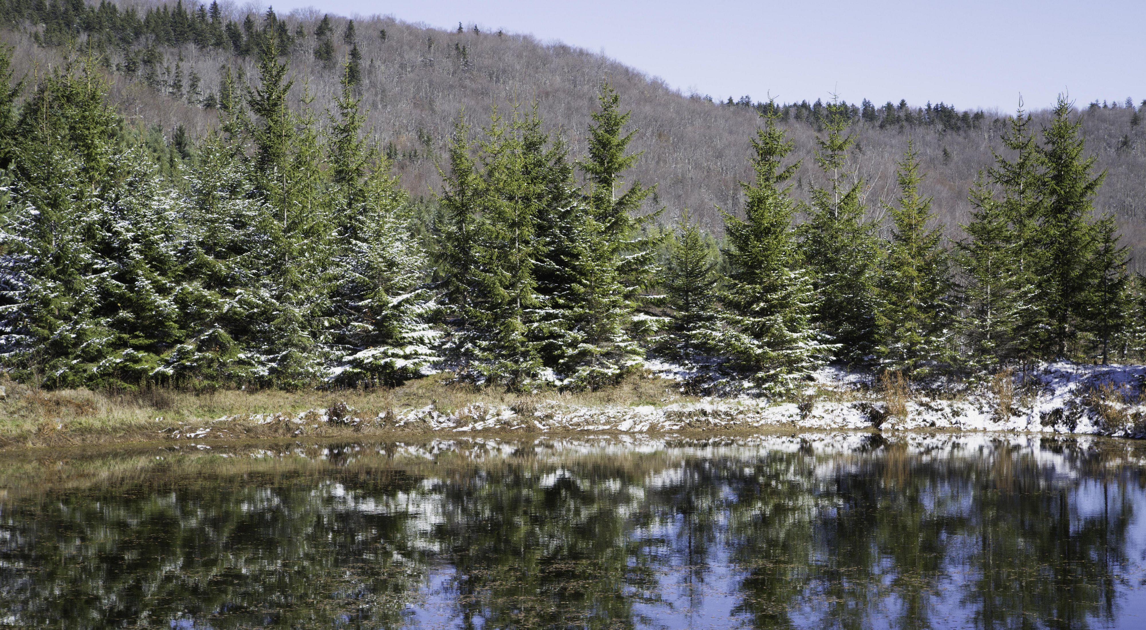Photo of sapling red spruce trees planted in newly tilled field of what was once a strip mining operation in West Virginia.