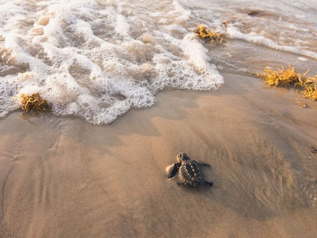 A close-up portrait of a baby sea turtle on the sand walking towards a small wave breaking