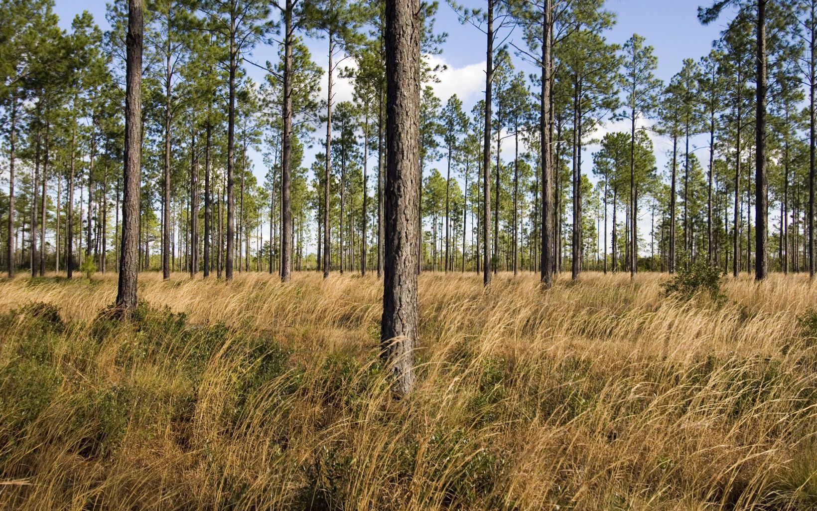 Mixed pine savannah comprised of Longleaf, planted pines and native grasses at Green Swamp Preserve located in North Carolina's coastal plain, Brunswick County
