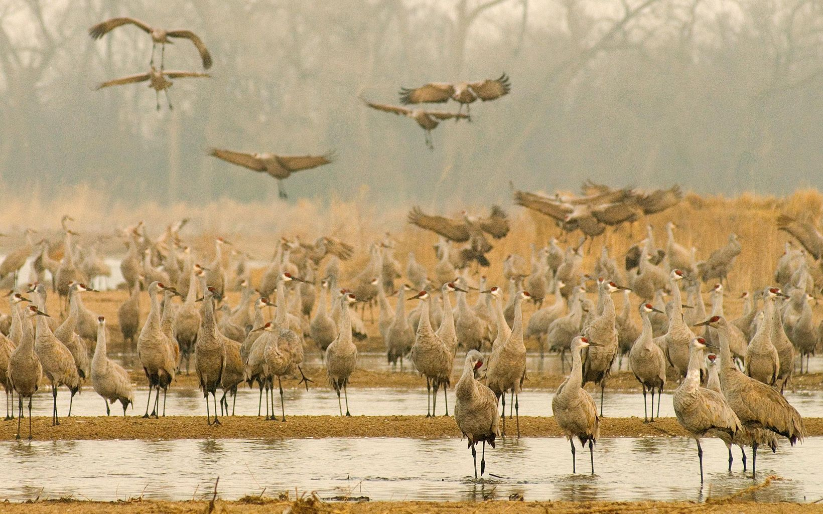 Dozens of sandhill cranes gather on the shores of the Platte River.