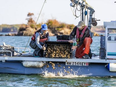A woman and man pour oysters over the side of a boat.