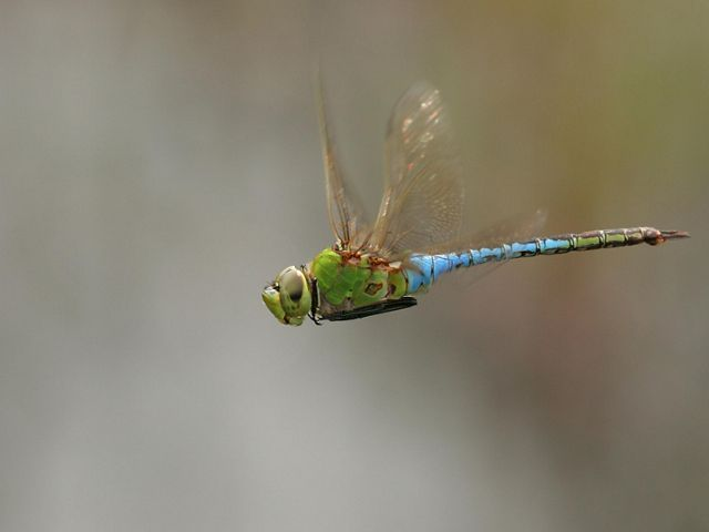 Side view of a large dragonfly  in flight that ranges in color from green to light blue.