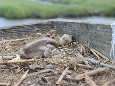 A newly hatched osprey chick is laying down in its nest.