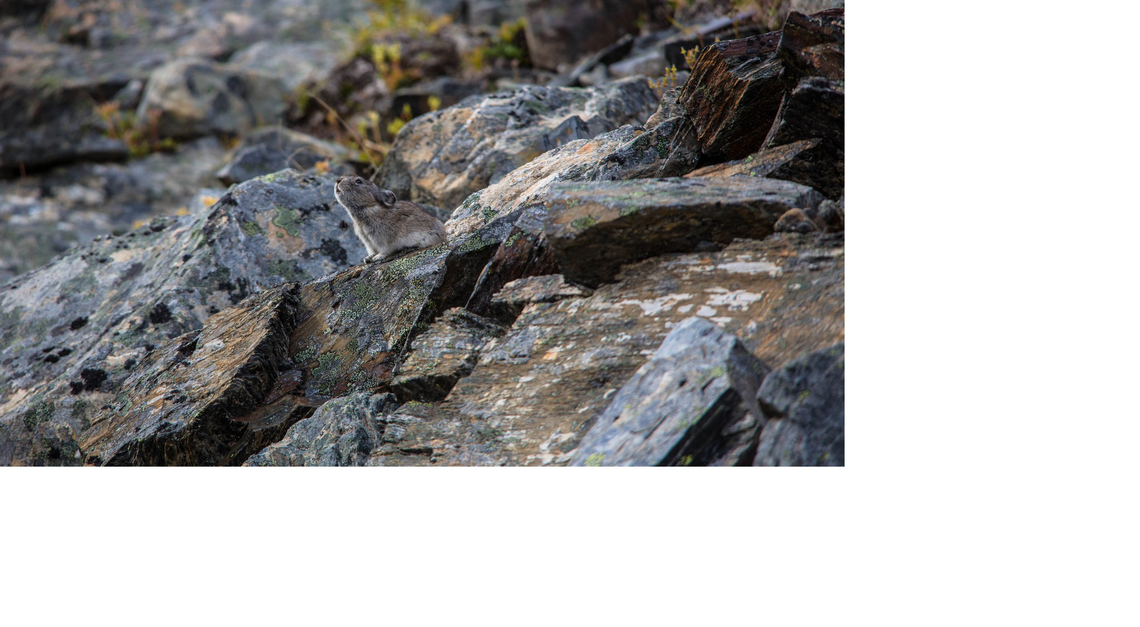 A small, brown pika sits on a lichen-covered rock with its nose in the air and its ears pulled back.