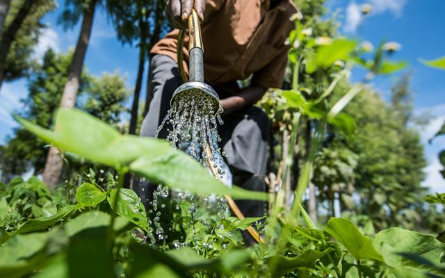 A man waters his crop with water from his water pan