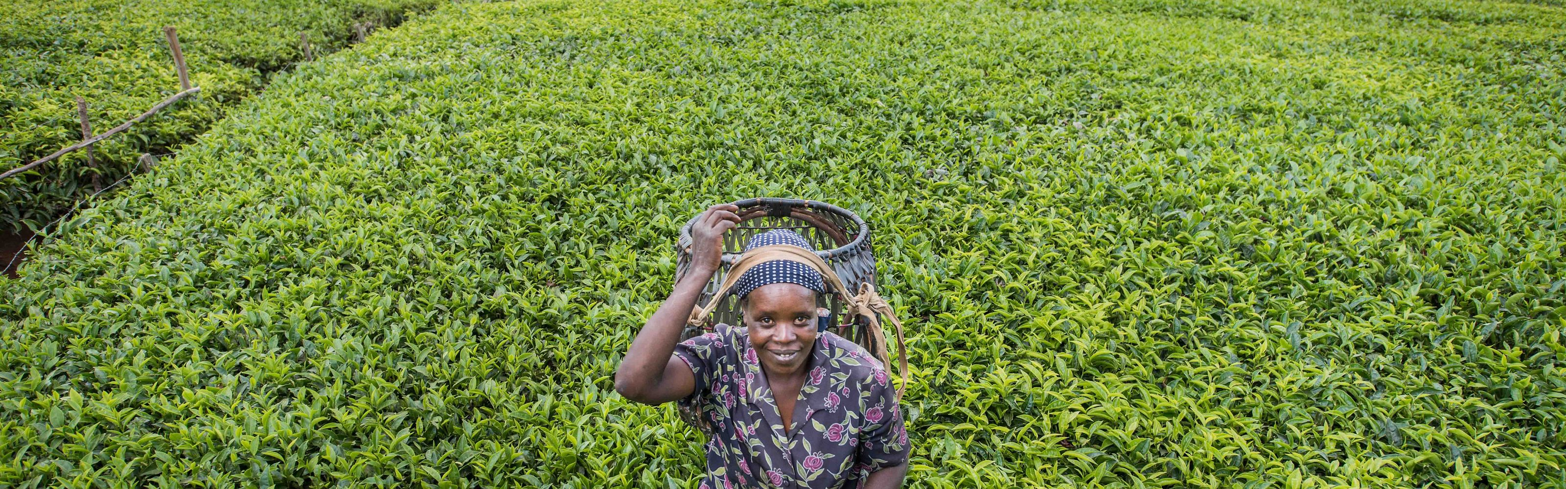 Beatrice Manyua and her husband Elijah own this tea plantation in the hills of Othaya, Nyeri County, Kenya.