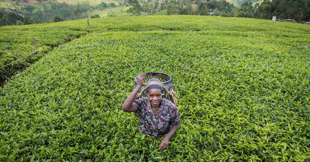 Woman on a tea farm