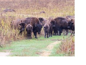 Bison herd at Nachusa Grasslands
