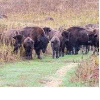 Bison herd at Nachusa Grasslands.