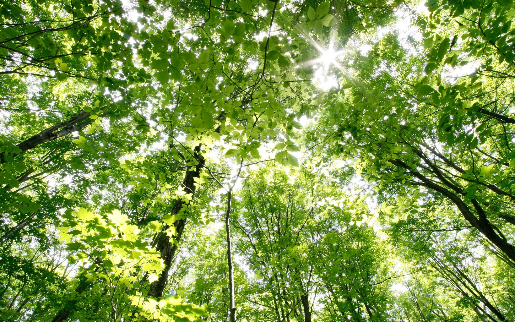 View looking up into the sunlit forest canopy.
