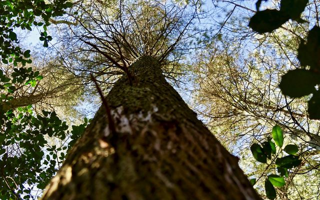 Looking up into the canopy of a mature Atlantic white cedar tree