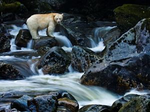 "A Kermode bear or ""spirit bear"" on Gribbell Island in the Great Bear Rainforest of Canada, much of which is now protected or dedicated to sustainable management by First Nations communities."