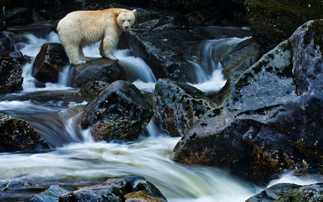 """A Kermode bear or """"spirit bear"""" on Gribbell Island in the Great Bear Rainforest of Canada, much of which is now protected or dedicated to sustainable management by First Nations communities."""