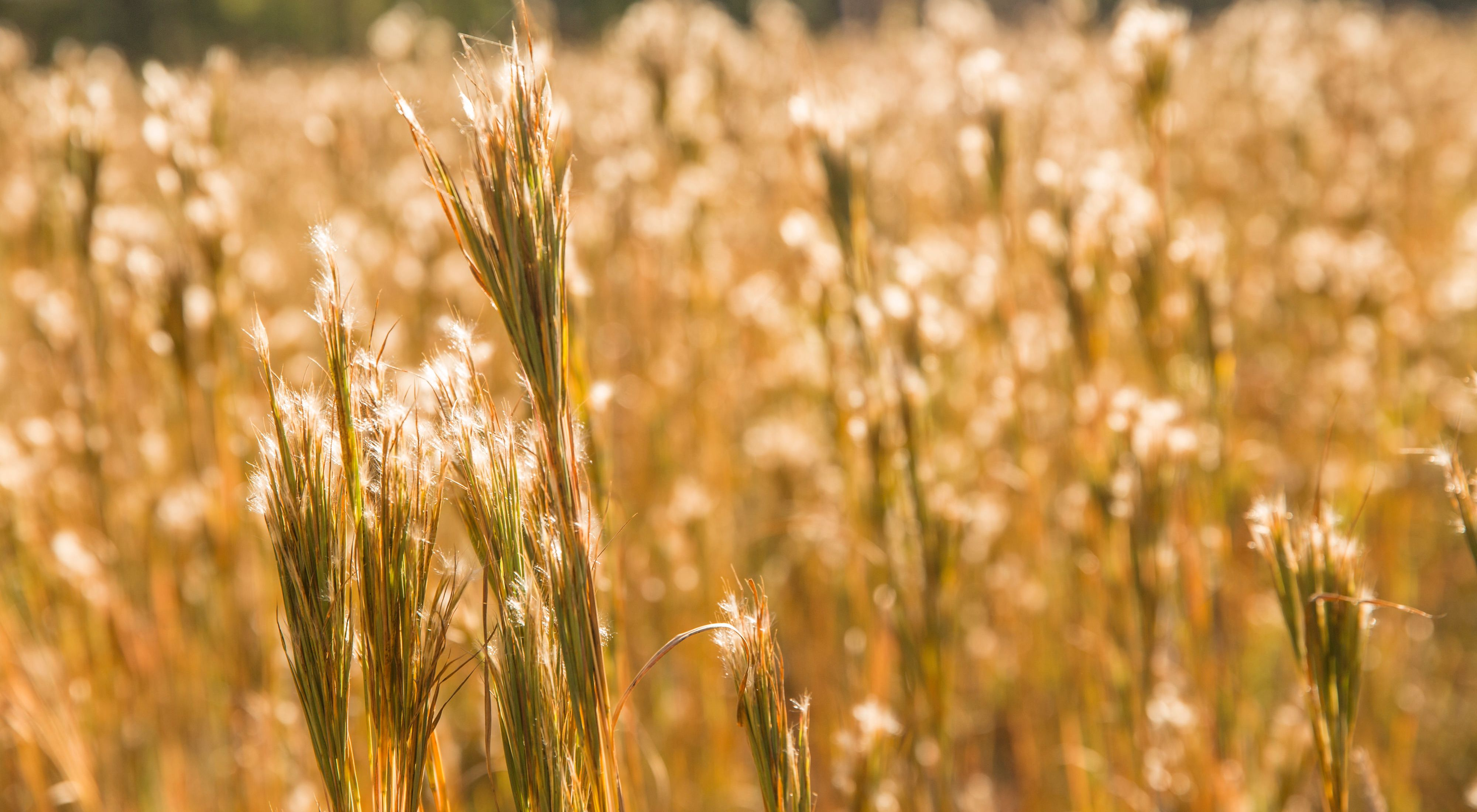 A field of tall grass with fuzzy seeds.