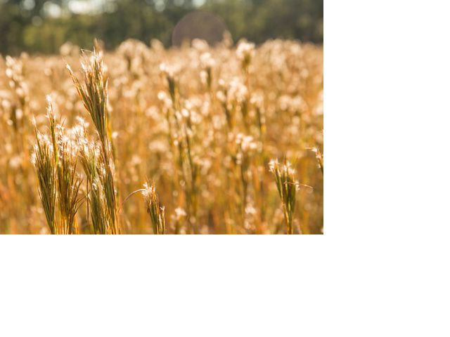 A field of golden grasses reaches to the sky.