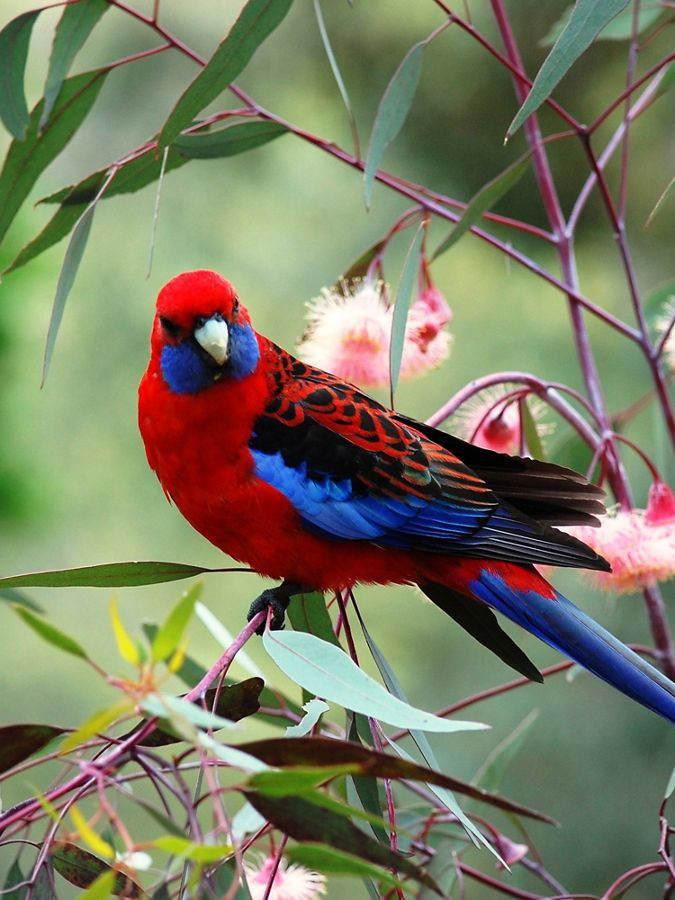 close up view of colorful red and blue bird on branch