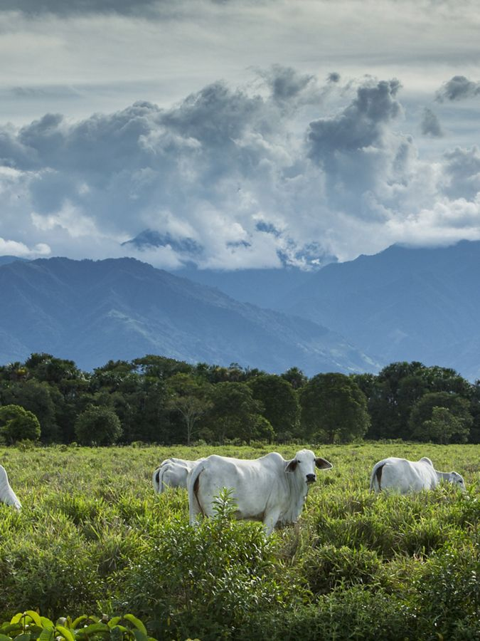 white cows graze in a green field with mountains behind