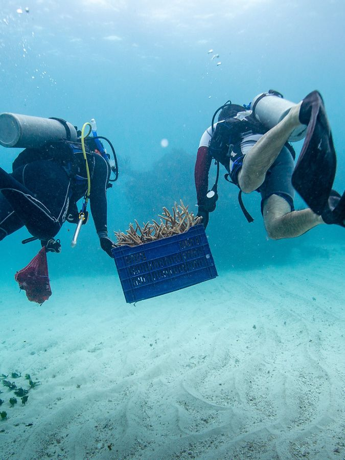 two scuba divers carry a basket of coral pieces