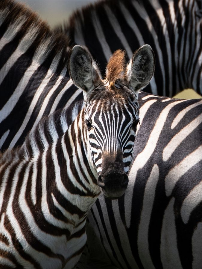 close up of young zebra staring into camera