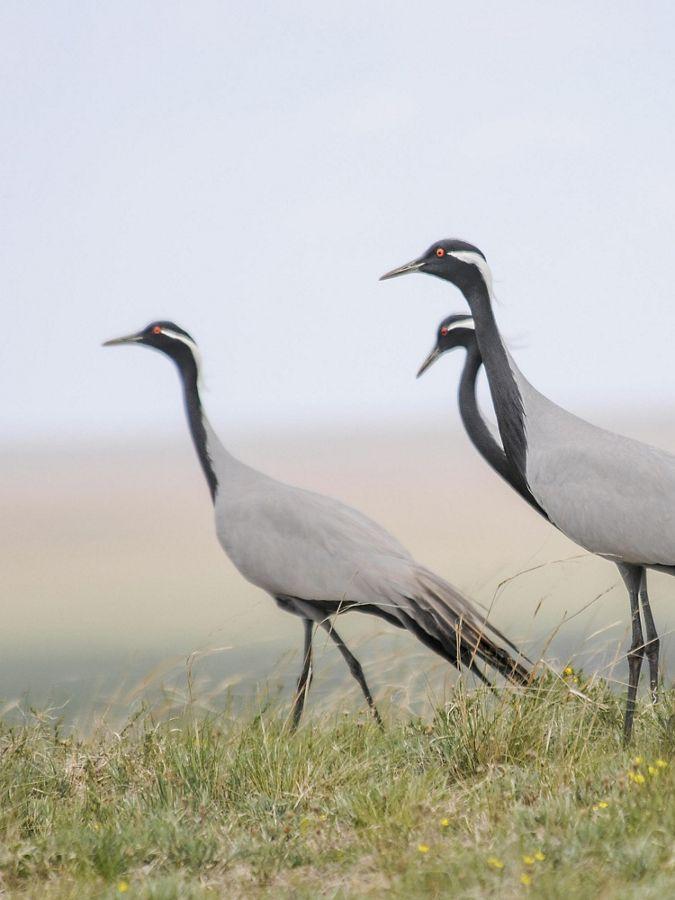 Close up of demoiselle cranes walking through grassland