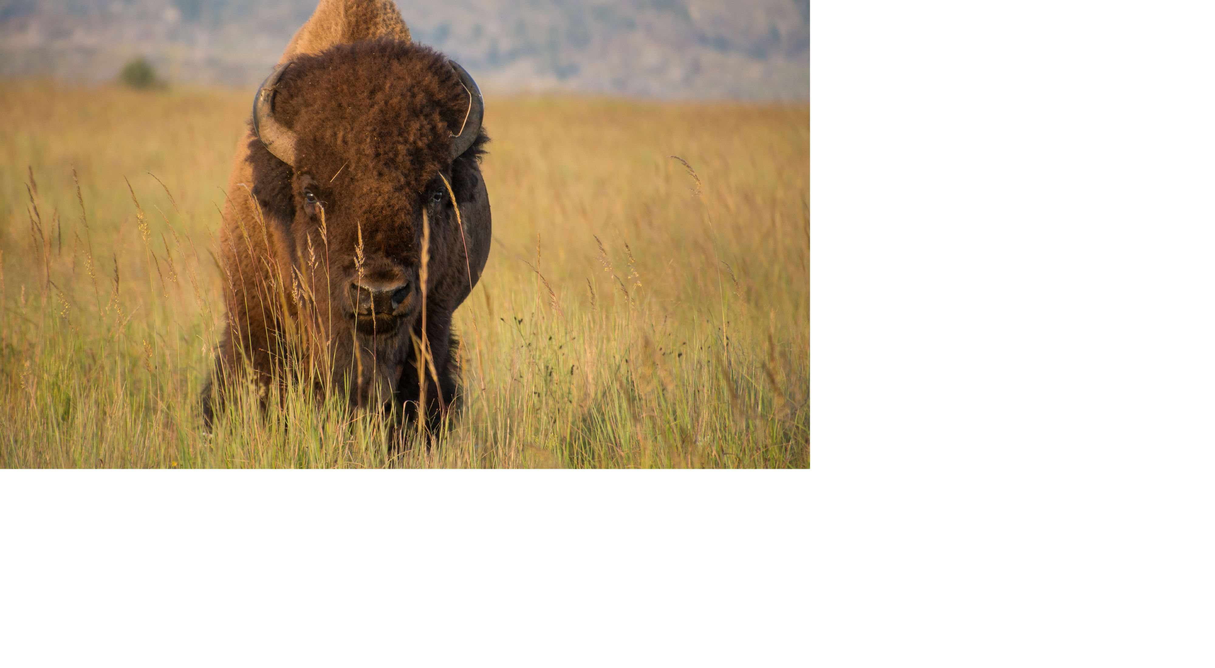 Bison bull standing in tall grass
