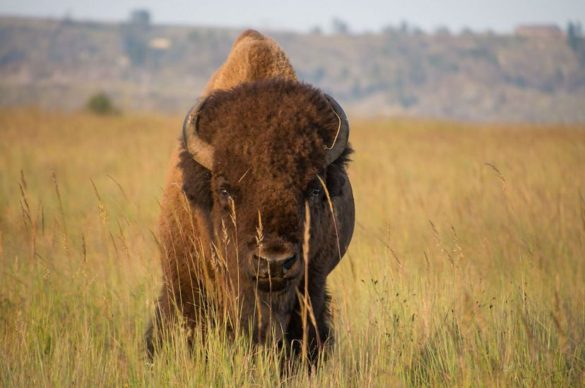 A bison on a Nebraska prairie.